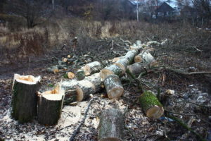 Санитарная вырубка деревьев